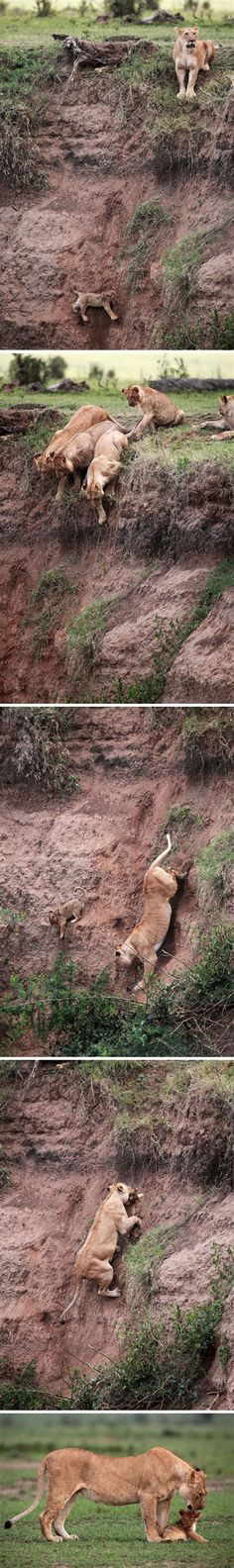 Lioness Rescues Cub (photo credit: Jean-Francois Lagrot)... why they should have sent Sarabi after Simba and not Mufasa.