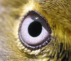 White eyed vireo (courtesy of Hilton Pond Center)