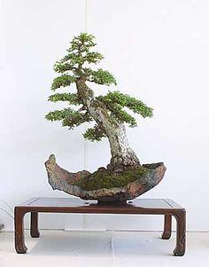 bonsai olmo cinese - Cerca con Google