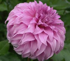 "Vassio Meggos Dahlia (9"" bloom; 4 1/2' bush): lavender wavy petals that flow back to the stem; good for exhibition."