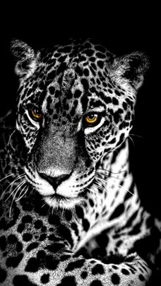 Leopard With Yellow Eyes Wallpaper