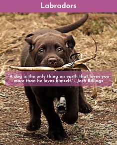 """""""Once you have had a wonderful dog, a life without one, is a life diminished."""" #lovelabs #labrador"""
