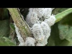 Elimine cochonilha e pulgão com inseticida caseiro potente - YouTube Orchid Diseases, Plant Diseases, Container Gardening, Gardening Tips, Gutter Garden, Garden Care, Pest Control, Garden Planning, Compost