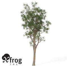 bluegum eucalyptus tree planted 3d model