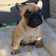 This is Duke, he's my new little brother. French Bulldog Puppy