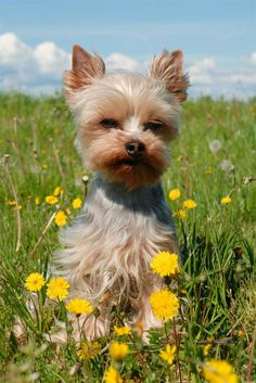 Yorkies are the #6 most popular dog and the #1 most popular little dog!  Gotta love them!