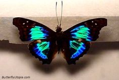 """Sparkling Cherub (Doxocopa cherubina) Wingspan: 2 1/2"""" - 2 3/4"""" - This photo was taken at a high angle to accentuate the unique iridescence of this butterfly. (www.butterflyutopia.com)"""