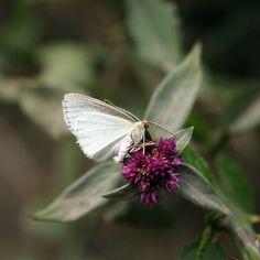 Cabbage Butterfly on Purple Flower