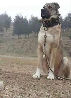 Things we all love about the Loving Big Mastiffs Huge Dogs, Giant Dogs, Cute Dogs Breeds, Large Dog Breeds, Cute Puppies, Dogs And Puppies, Kangal Dog, Scary Dogs, Mastiff Dogs