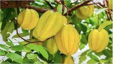 Existe uma fruta muito especial, que ainda poucas pessoas consomem e conhecem, capaz de reduzir o colesterol, combater inflamações e controlar a diabetes.