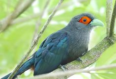 chestnut-bellied malkoha | by kampang