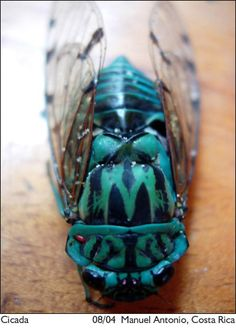 Blue Cicada #paradiseawaits http://www.discoverybeachouse.com/