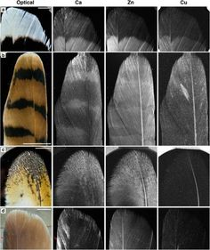 X-Ray Images of Bird Feathers Hold the Secret to Dinosaur Colors