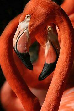 Coral Orange and Black / Juxtaposed Flamingos Foto Flamingo, Flamingo Art, Pink Flamingos, Pretty Birds, Beautiful Birds, Animals Beautiful, Animals And Pets, Cute Animals, Flamingo Pictures