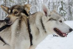 Want to go Dog Sledding in Finland?!? >>> This looks really fun!
