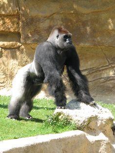 Gorille du zoo de La Palmyre | Pays Royannais Charente-Maritime Tourisme #charentemaritime | #zoo | #LaPalmyre | #animaux