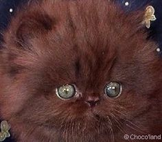 Google Image Result for http://www.chocolatecats.com/pictures/kittenchocolatepersian.jpg