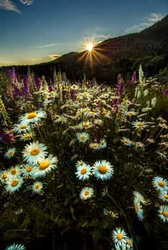 Daisies in gold light on 500px by Carlos Rojas