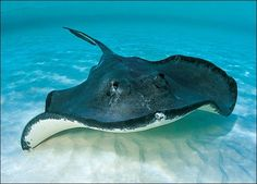 This beautiful stingray is at the bottom looking for food
