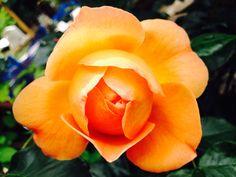 Pat Austin English rose