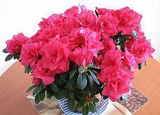 Как ухаживать за азалией   Комнатные растения и садовые цветы