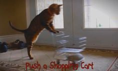 Kaiser the Bengal Cat Performing Tricks AMAZING! I so want a Bengal!