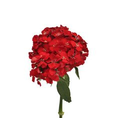 Sweet William Red 100 stems - small bunch per stem $130