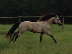 One of my buckskin horses