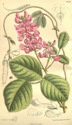 File:Curtis's botanical magazine (Tab. 8144) (9600912098).jpg