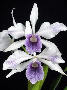 Garden Flowers - Annuals Or Perennials Thelordismylightandmysalvation: Orchidea Laelia Purple Unusual Flowers, Amazing Flowers, Beautiful Flowers, Orchid Plants, Exotic Plants, Orquideas Cymbidium, Orchidaceae, Tropical Flowers, My Flower
