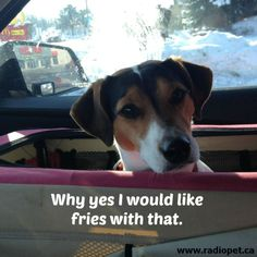 Charlotte loves going through the drive-throughs.  That's when she pokes her head out to place her order.  #qotd #dogs #jrt #bff #pets #family