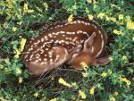 baby deer sleeping