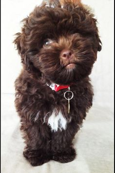 Looks exactly like Mick! Shih Poo Puppies, Dogs And Puppies, Cute Little Dogs, I Love Dogs, Pets 3, Maltipoo, Amazing Dogs, Shih Tzus, New Puppy