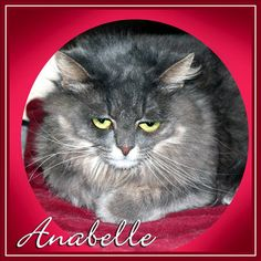 Anabelle is an adoptable Domestic Long Hair searching for a forever family near San Gabriel, CA. Use Petfinder to find adoptable pets in your area.