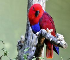 I'm just a fluffy duck!! Look at me!! Eclectus Parrot - the most beautiful!