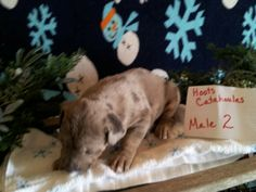 Hoot Catahoulas puppies for sale see our Facebook page for more information shipping available
