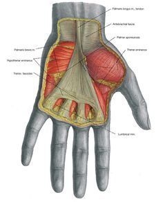 Muscles of the Arm and the Hand - anatomical plates.