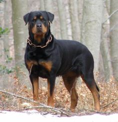 What a beautiful Rotweiler. Can't wait till we get one these!:)