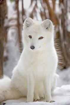 Arctic Fox - The lush white coat of the arctic fox provides both warmth and camouflage in the winter. - title Sly as a Fox Arctic Animals, Animals And Pets, Baby Arctic Fox, Arctic Wolf, Strange Animals, Nature Animals, Beautiful Creatures, Animals Beautiful, Cunning Fox