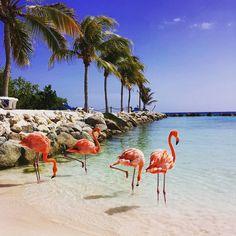 Mingle with some flamingos at Renaissance Aruba Resort & Casino.