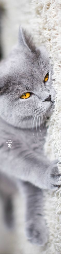 British Shorthair... so tired and sleepy. It needs a Beka bed ;-)