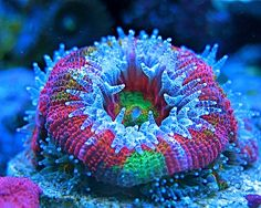 Saltwater Coral  QUICK STATS Care Level: Easy Temperament: Semi-aggressive Lighting: Moderate Waterflow: Low to Medium Placement: Bottom Water Conditions: 72-78° F, dKH 8-12, pH 8.1-8.4, sg 1.023-1.025 Color Form: Assorted Supplements: Calcium, Magnesium, Strontium, Trace Elements Origin: Aquacultured - USA Family: Mussidae