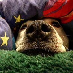 Flea ain't getting up today !! #staffylove #englishbullterrier #lazyfuck #fleaistheboss