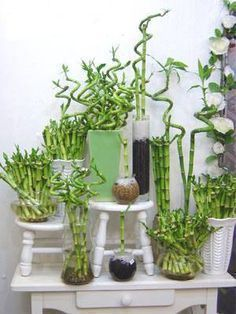 Bambú for good luck Water Plants Indoor, Outdoor Plants, Indoor Garden, Indoor Bamboo, Bamboo House Plant, Lucky Bamboo Plants, Plants Are Friends, Rustic Wedding Flowers, Green Plants