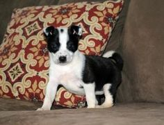 Felicia is an adoptable Border Collie Dog in Simsbury, CT. Has been in CT for two weeks and will be ready for adoption around May 12th  Felicia was only 5 weeks old when she was dumped at a high kill ...