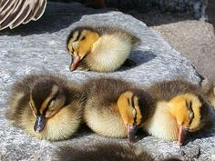 Look at these 4 ducklings taking a nap on a rock with their mother nearby, You know they're safe because their mommy's right there to protect them. They're a beautiful family!