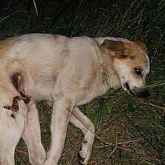 New York, NY - Labrador Retriever. Meet Jerry a Dog for Adoption.