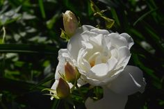 Schneewitzen  ruusu