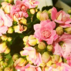 Flaming Katy flowering succulent