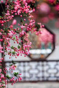 We're a little cherry blossom obsessed. The Cherry Blossom Festival starts March and lasts until April Beautiful Flowers Images, Beautiful Flowers Wallpapers, Beautiful Nature Wallpaper, Pretty Wallpapers, Flower Images, Flower Pictures, Beautiful Roses, Pretty Flowers, Pink Flowers